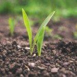 Seedlings in ground